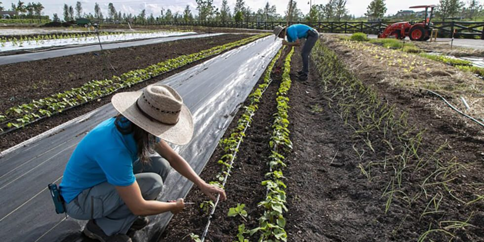 Loxahatchee farm earns key certification; on track for first harvest