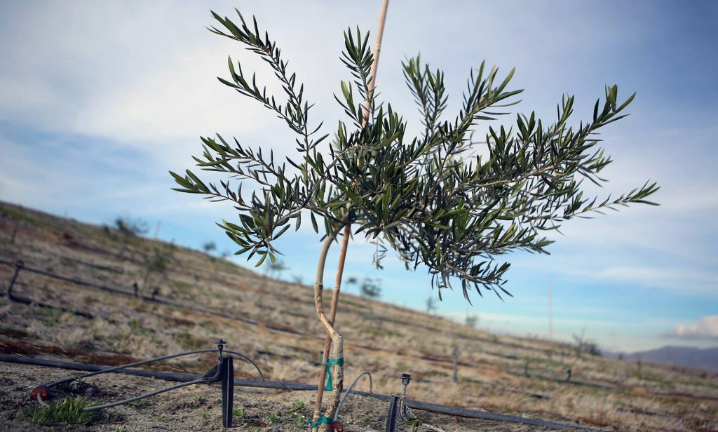 Young Olive Tree at Miralon